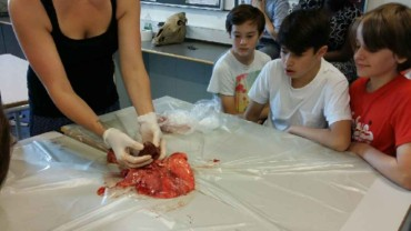 6. klasse ser på lunger og hjerter